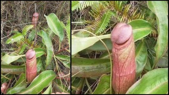 """Permalink to Internet Discovers That A Phallic-Looking """"Penis-Flytrap"""" Exists In Remote Forests"""