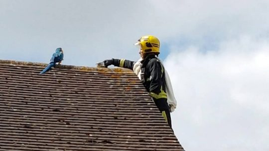 """Permalink to Parrot Trapped On Roof Repeatedly Tells Rescue Crews To """"F**k Off"""