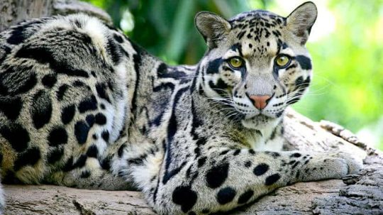 Permalink to 'Extinct' Leopard Spotted for the First Time Since Disappearing in 1983
